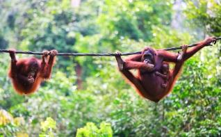 Borneo Arangutans