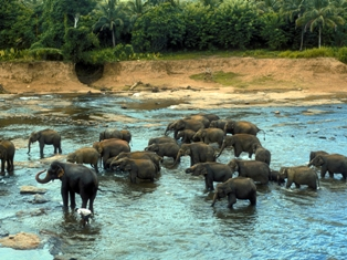 Elephant Orphanage, Pinnawela