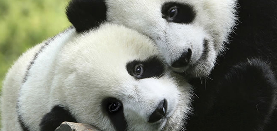 In Pursuit of Pandas