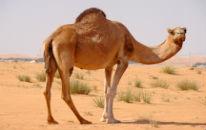 Wildlife in Oman