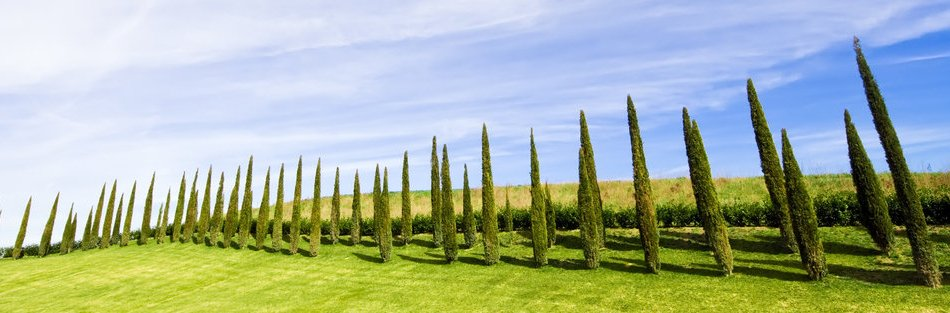 CYPRESS TRESS IN CHIANTI MAIN