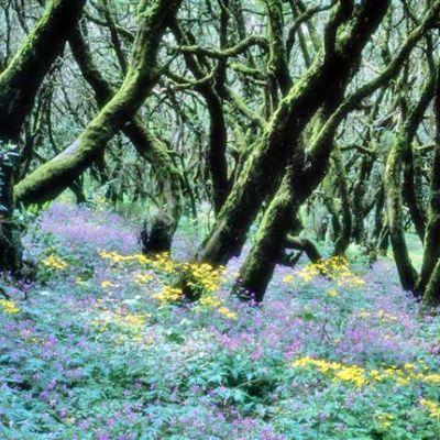 Cedar Wood-La Gomera